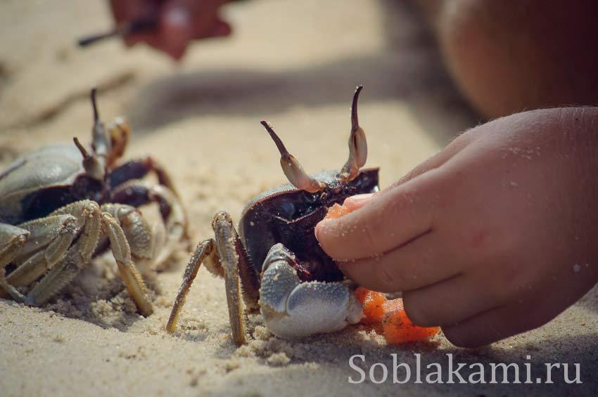 Пляж Туб Каек: что едят крабы в Краби