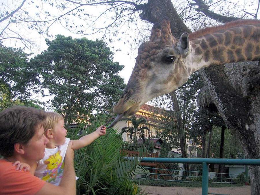 кормление жирафа в зоопарке Хошимина